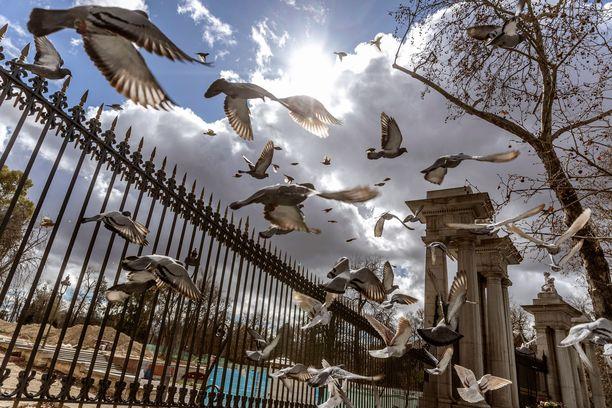 Kyyhkyset lähtivät etsimään ruokkivia käsiä El Retiro -puiston ulkopuolelta Madridista.
