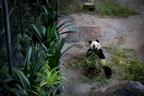 Ähtärin pandat syövät paljon bambua. Hollannista tuotavaan bambuun menee vuodessa 150 000-170 000 euroa.