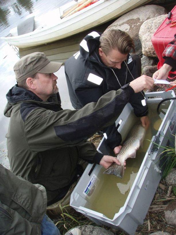 Petri Karppinen valmistelemassa radiokalaa tutkimusprojektiin.