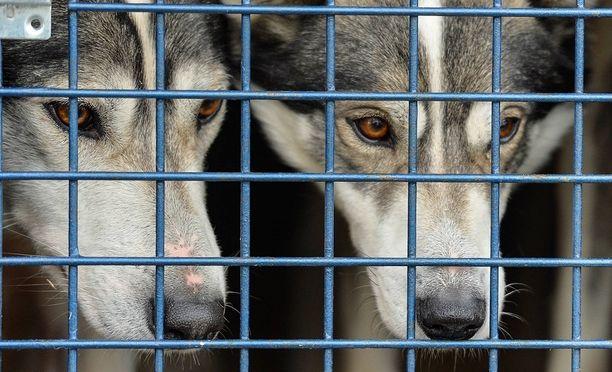Valjakkojoukkueen koiria kuoli Turussa. Kuvituskuvan eläimet eivät liity tapaukseen.