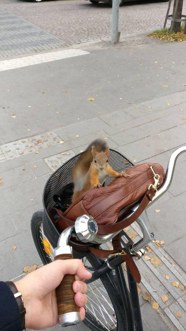 Kesyn oloinen orava tunki pyrän etukoriin.