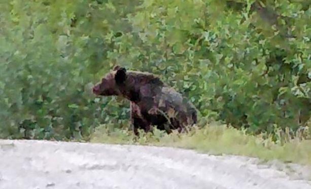 Karhu etsi ilmeisesti ruokaa biojäteroskiksesta.