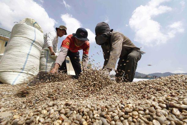 Työntekijät pakkaavat kahvipapuja tehdasalueella Indonesiassa, länsimaihin lähettämistä varten.