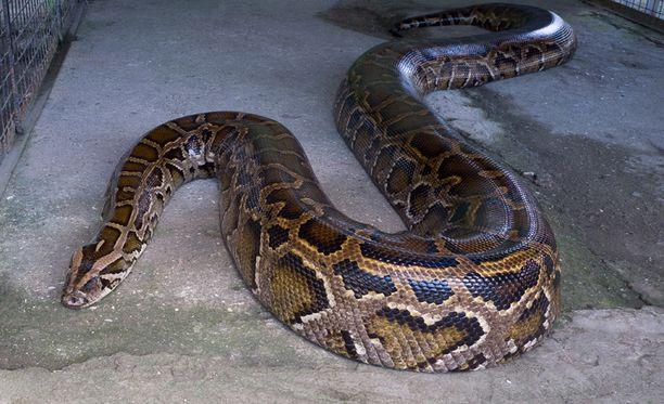 Pytonin aiheuttamat kuolemat ovat harvinaisia, vaikkakin niitä raportoidaan silloin tällöin. Kuvan käärme ei liity tapaukseen.