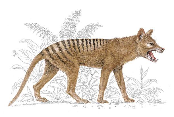 Lihaa syövä pussieläin tasmaniantiikeri kasvoi reilun metrin mittaiseksi ja painoi enimmillään 30 kiloa.