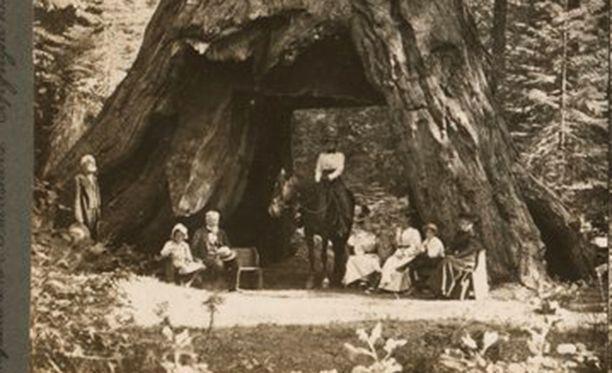 1800-luvun lopulla Tunnelipuun luona vietettiin eväsretkeä.