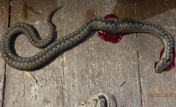 Kyykäärme luikerteli taloon myöhään keskiviikkoiltana. Ihmiselle ja koiralle uhitellut, yli 60cm mittainen käärme kohtasi loppunsa kahden tunnin metsästämisen jälkeen.