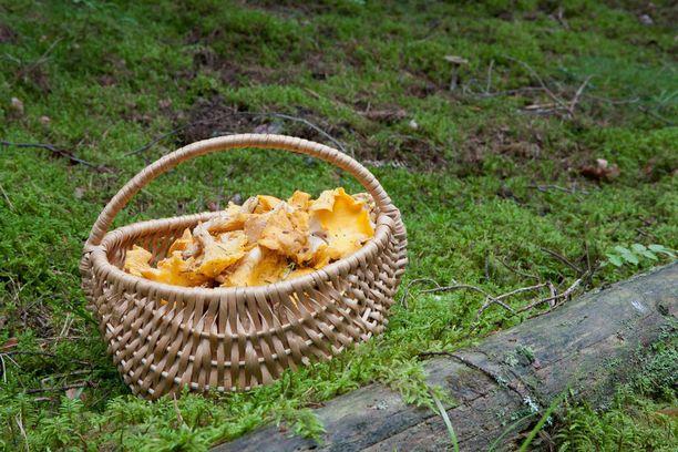 Erikoistutkija Kauko Salon mukaan sienikoppa on ainoa oikea valinta sienimetsälle. Muovipussissa sienet liiskaantuvat ja alkavat pilaantua.