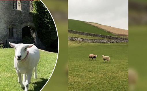 Bella-lammas luulee olevansa koira: reaktio omaa laumaa kohtaan huvittaa