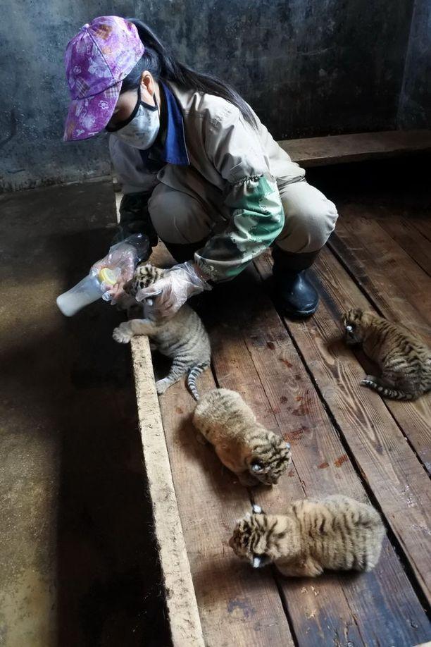 Tiikeripuiston työntekijä ruokki pentuja 24. huhtikuuta.