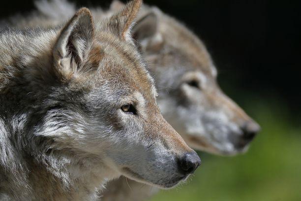 Kuhmossa tutkitaan epäiltyä susien salametsästystä. Kuvituskuva.