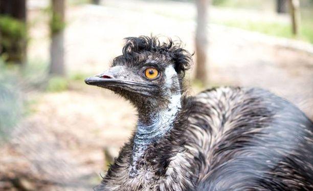 Emma-emu oli Keskisuomalaisen mukaan eläinpuiston ainoa emu.