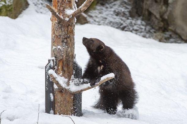 Ahmat pitävät lumisesta säästä.