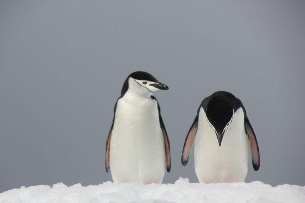 """Pingviinikuvan on ottanut Peter Odeh. Kuva kantaa nimeä """"Ongelmia Paratiisissa""""."""