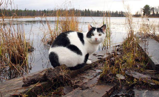 Tältä laiturilta Rasmus-kissa ponkaisi joutsenen selkään.