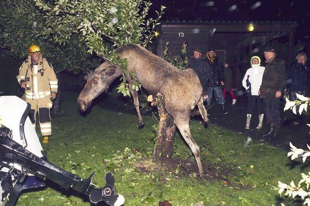 Täydessä maistissa ollut hirvi jäi jumiin omenapuuhun mussutettuaan ensin mahalaukkunsa täyteen ylikypsiä omenoita Göteborgissa syksyllä 2011. Palokunta joutui auttamaan kännisen hirven pois pinteestä.