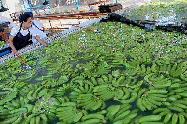 Työntekijät pesevät banaaneja Filippiineillä.