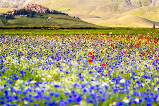 Kesäistä väriloistoa Umbrian pelloilla.