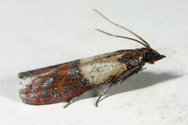 Aikuisella keittiökoisalla on tyviosastaan vaaleat ja kärjestään ruskeat siivet, joiden kärkiväli on noin kaksi senttimetriä.