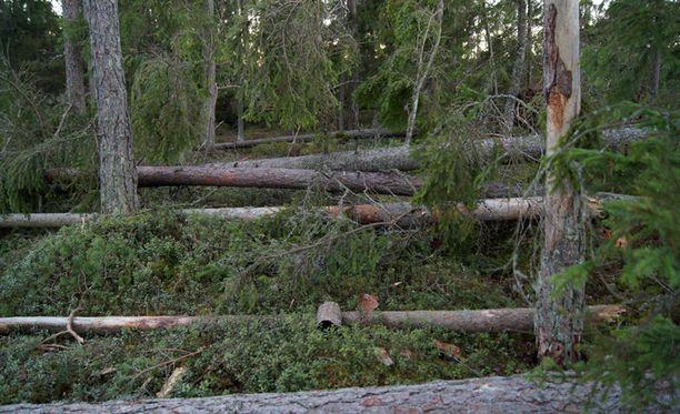 Myrsky kaatoi useita useita puita VoF-kilpailijan pihamaalla.