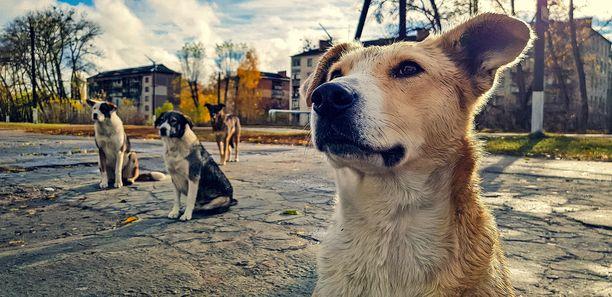 Toisenlaisista aikeista huolimatta Tšernobylin alueella jolkottele yhä koiria. Kuva viime vuodelta.