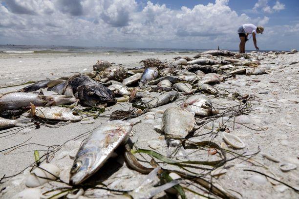 Lähellä rantaa elävät merieläimet kuolevat panssarilevän erittämästä hermomyrkystä.