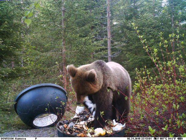 Karhu syö kompostista ruuantähteitä ja levittelee jätteet ympäriinsä.