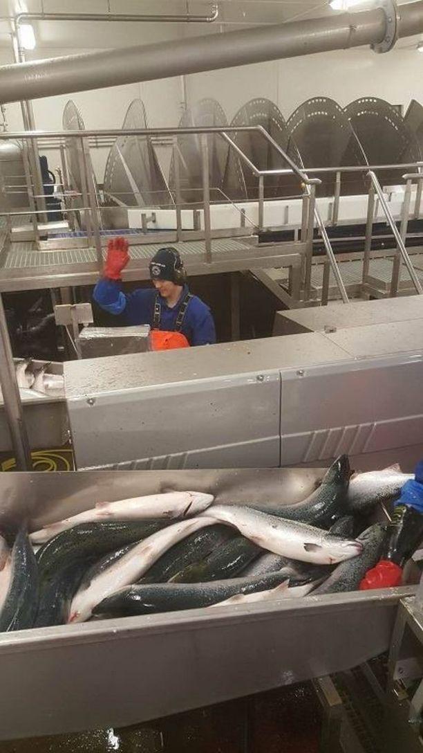 Työtehtäviin kuuluu kalojen käsitteleminen ja pakkaaminen.