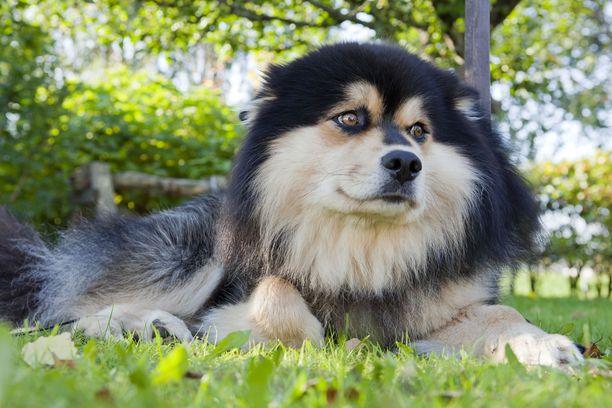 Suomessa on 13 000 koirankasvattajaa ja lappalaisroduissakin heitä on 200. Tuula Laitinen Suomen Kennelliitosta muistuttaa, että ongelmat koskevat vain pientä osaa kasvattajista. Kuvan koira ei liity tapaukseen kuin edustamansa rodun kautta.