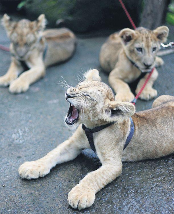 Miau! Kahdeksankuukautiset leijonaveljekset Ram, Mimi ja Mini, harjoittelivat karjuntaa kotonaan Balin eläintarhassa.
