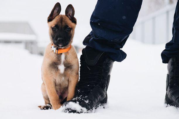 Hiski-koira hoitanee rosmot nippuun silkalla söpöydellään.