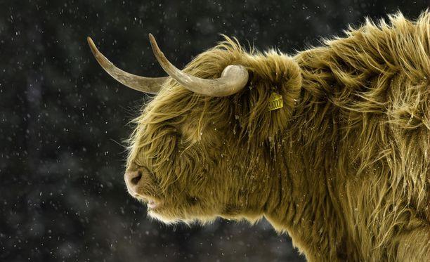Siikajoella paljastui keväällä 2018 kymmenien ylämaankarjan nautojen kuolema. Kuvituskuva.