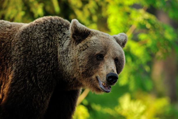 Karhu tappoi entisen kansanedustajan perjantaina Venäjällä. Kuvituskuva.