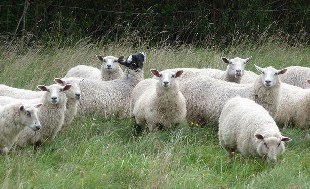 Susi kävi lampaiden kimppuun Uudessakaarlepyyssä.
