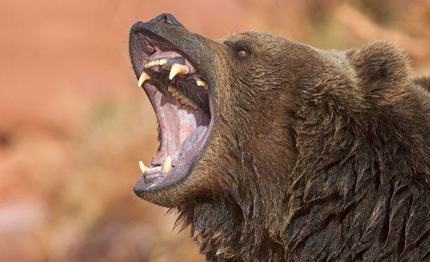 Harmaakarhu hyökkäsi vaeltajan kimppuun Alaskassa sijaitsevassa Denalin kansallispuistossa. Kuvituskuva.