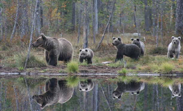 Karhuemo suojelee pentujaan aggressiivisilta uroskarhuilta.
