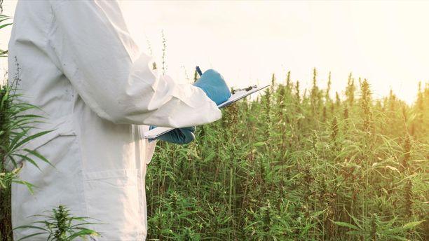 Kannabista käytetään paitsi päihteenä, myös muun muassa kipulääkkeenä.