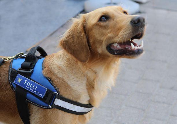 Aino-koira valvoo, ettei EU:n ulkopuolelta tuotujen ruokien mukana tule Suomeen tarttuvia eläintauteja.