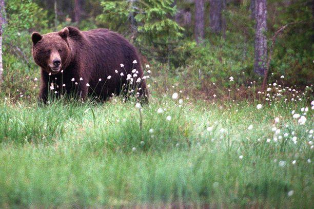 Keiteleellä järjestetystä karhujahdista koitui ikävät ja kalliit seuraamukset. Kuvituskuva.