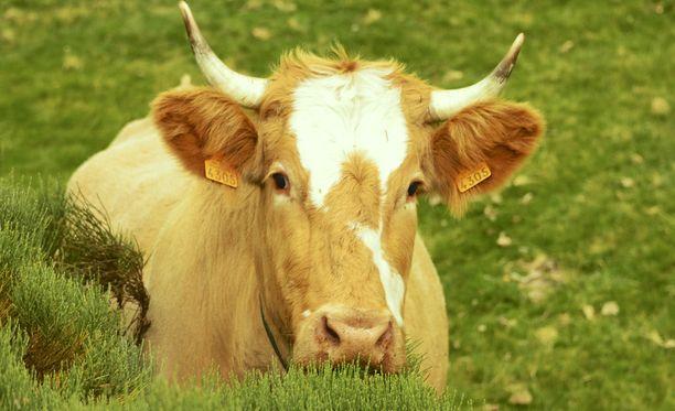 Lehmä voi aiheuttaa astmaa. Maanviljelijälle se voi olla kiperä paikka.