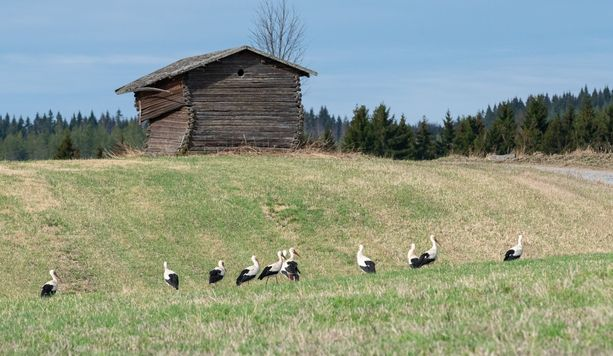 Kattohaikara, Ciconia ciconia, on Suomenlahden eteläpuolella yleinen. Nämä 11 lintua tulivat Jämsään kevätvisiitille.
