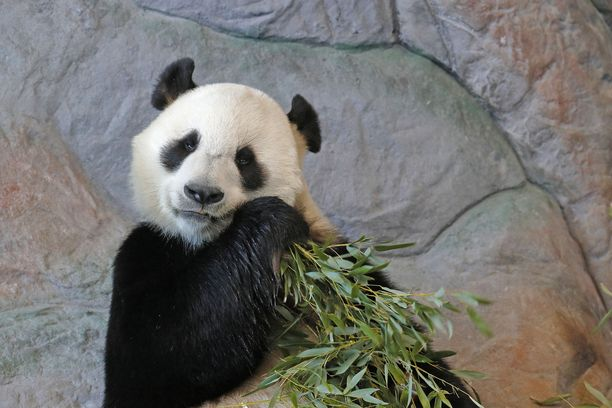 Pandat Lumi ja Pyry ovat Ähtärin tunnetuimmat eläinasukkaat.