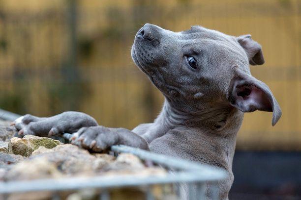 Kahdeksan kuukauden ikäinen pitbull pelasti perheen palavasta talosta Yhdysvalloissa. Kuvituskuva.