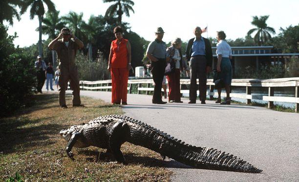 Alligaattorit ovat viranomaisten mukaan tottuneet liikaa ihmisiin. Niitä ei saa missään nimessä syöttää.