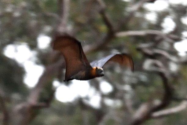 Perussuomalaisten pomon mukaan lepakot räjähtelevät tuulivoimaloiden lähellä.