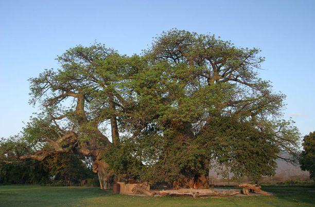 Tämä puu kätkee sisäänsä salaisuuden.