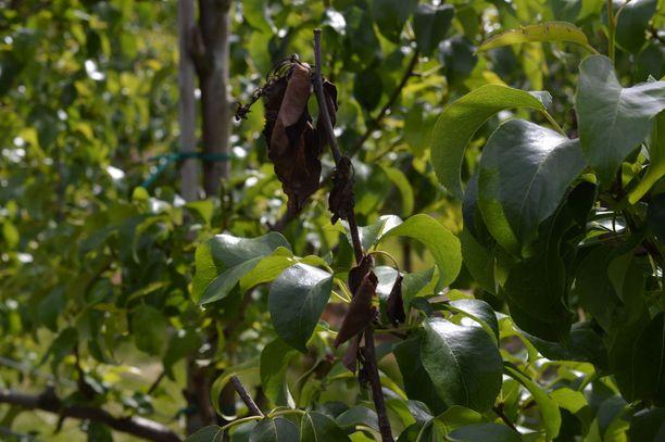 Tulipoltteen aiheuttamia oireita päärynällä. Tulipoltteen oireisiin kuuluvat muun muassa versojen lakastuminen, mustuminen ja kasvin kuoleminen. Tauti leviää saastuneiden kasvien ja hyönteisten välityksellä.