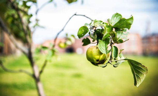 Omistajien mukaan omenapuu on istutettu viimeistään 1940-luvun lopulla. Kuvituskuva.
