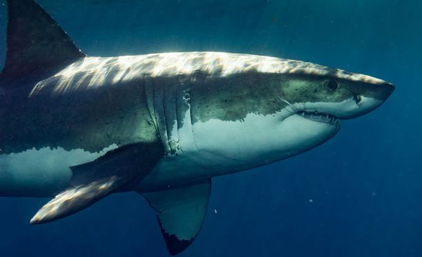 Mikäli hai saadaan kiinni, se surmataan kalastajien mukaan ampuma-aseella. Kuvituskuva.