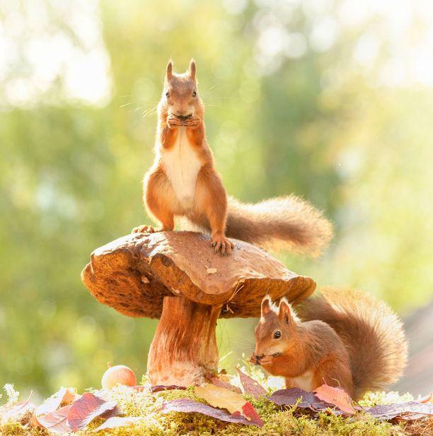 Oravat tutkivat tarkkaan Weggenin pihan.